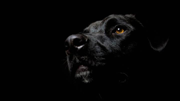 Black Labrador Brown Eyes Face Closeup